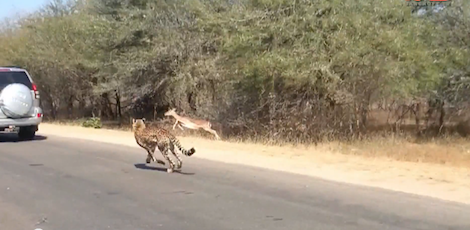 Sorry, cheetah. The impala wins this round. (Screen shot from http://youtu.be/CnxbS0Vu85E)