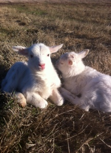 Baby lambs chilling