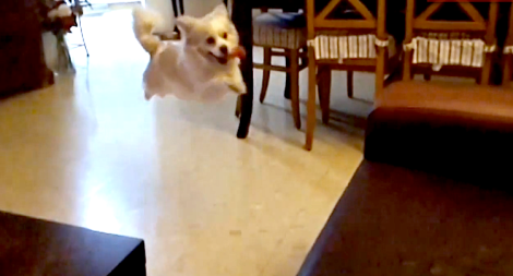 Dog tries to jump on couch but fails