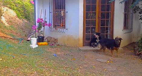 Lion cub sneaks up on dog