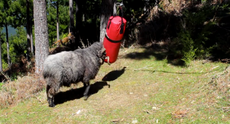 Angry ram owns punching bag
