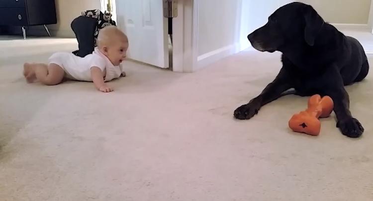 Baby crawls to dog