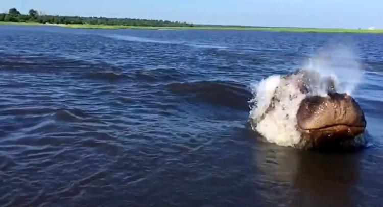 Hippo breaks water