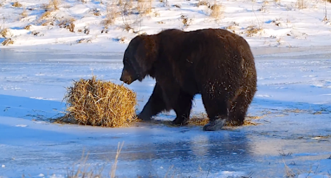 bear plays with hay