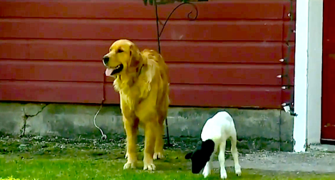 Golden Retriever and lamb